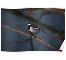Black and white bird on branch Poster