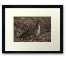 Partridge in grass Framed Print