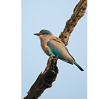 Indian roller on a branch Photographic Print