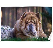 Chow dog portrait Poster