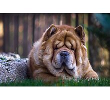 Chow dog portrait Photographic Print