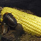 Bullhorn cockroaches on sweetcorn by Sandra Caven