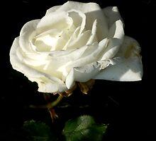 White Rose by M C  Sturman
