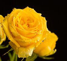 Golden Roses by Lynn Gedeon