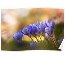 fall-blooming crocuses Poster