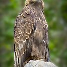 Majestic Golden Eagle by Randall Nyhof