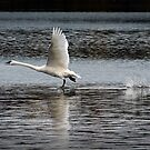 Trumpeter Swan walking on Water by Randall Nyhof