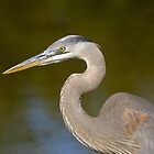 First Year Great Blue Heron by Heather Pickard
