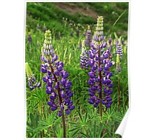 Purple Lupine Flower Blossoms No.824 Poster