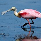 Roseate Spoonbill by Heather Pickard
