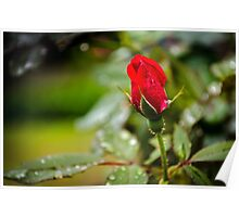 Rain Rose Poster