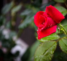Rain Rose by Douglas Hamilton