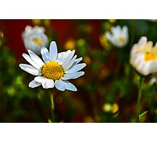 Morning Daisies Photographic Print