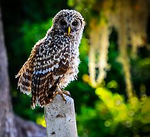 Young Barred Owl by Douglas Hamilton