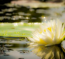 White lily in water on the lake by Douglas Hamilton