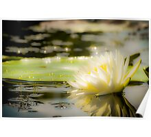 White lily in water on the lake Poster