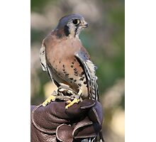 Kestrel - Male Photographic Print