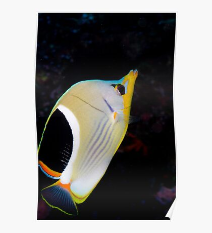 Portrait Saddle Butterfly fish Poster