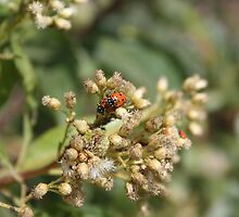 Ladybugs on Thistle by rhamm
