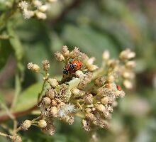Ladybugs on Thistle by rhamm