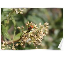 Ladybugs on Thistle Poster