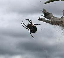 Black Orb Weaver Spider by rhamm