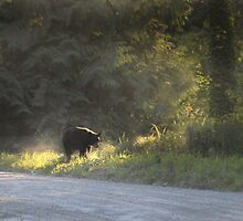 Black Bear Morning by Darren Quarin