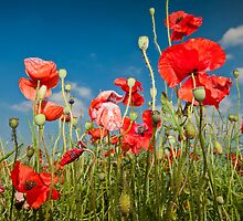 Poppies by Guy  Berresford