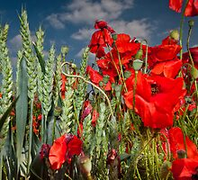 Poppies and wheat by Guy  Berresford