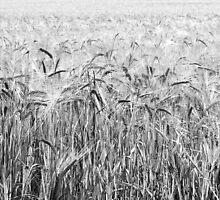 Fields of Barley, Landscape - A View  by Carl Gaynor