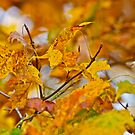 Yellow and Green Maple leaves by Carolyn Clark