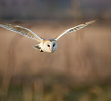 Barn Owl hunting by Richard Nicoll