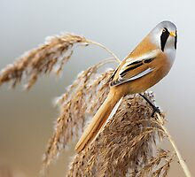 Male Bearded Tit by Richard Nicoll