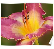Two-tone Lilium  Poster