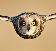 Short-eared Owl flying towards Camera by Richard Nicoll
