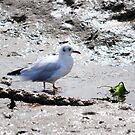 Seagull Having breakfast  by CjbPhotography