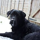 Black Labrador in Snow by Lynn Ede