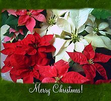 Mixed color Poinsettias 1 Merry Christmas P1F1 by Christopher Johnson