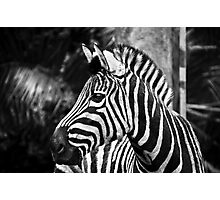 Zebra Photographic Print