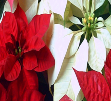 Mixed color Poinsettias 1 Merry Christmas S2F1 Sticker