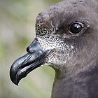 Providence Petrel by kim wormald