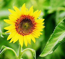 A  Sunflower  by Trish Threlfall