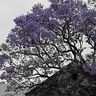 Black and white and Jacaranda by indiafrank