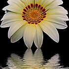 2605-white gazania by elvira1