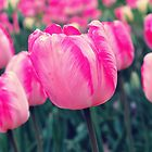 Pink Tulip by Susan Wellington