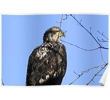Juvenile Eagle Poster
