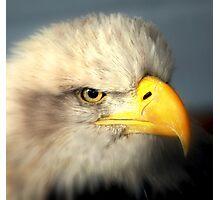 Bald Eagle (Haliaeetus leucocephalus) Photographic Print