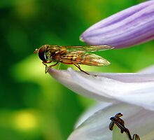 Hoverfly on leaf ready for takeoff by Brevis