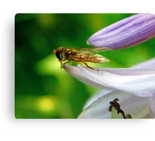 Hoverfly on leaf ready for takeoff Canvas Print