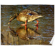 Admiration of a Duck Poster